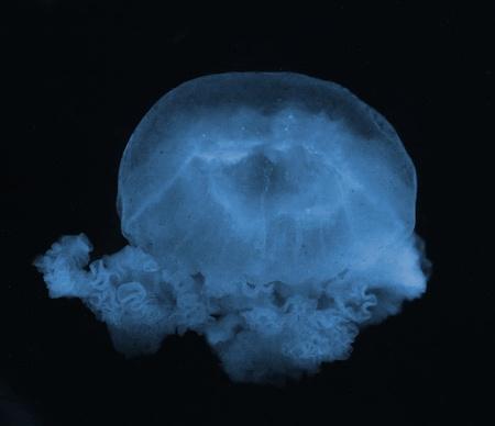 Jellyfish in the dark water photo
