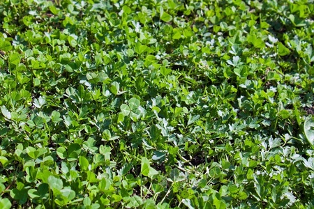 Clover green grass meadow photo