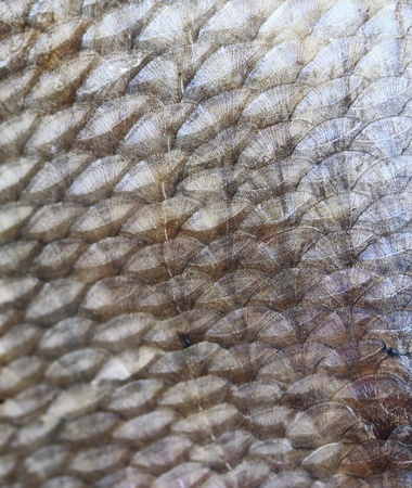 Texture of the fish scale photo