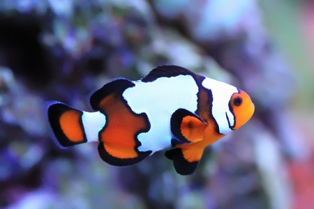 clown fish amphiprion: Clown  snowflake fish in the aquarium Stock Photo