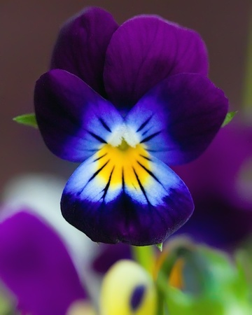 Violet pansy on natural background photo