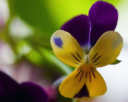 Pansy flower on spring background photo