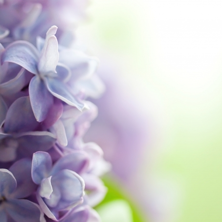 purple lilac: Violet lilac background
