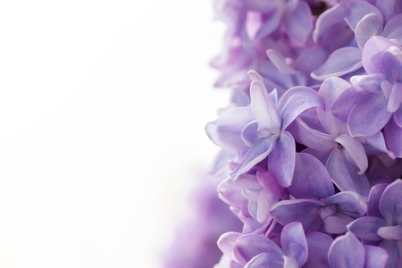 red bush: Beautiful lilac background