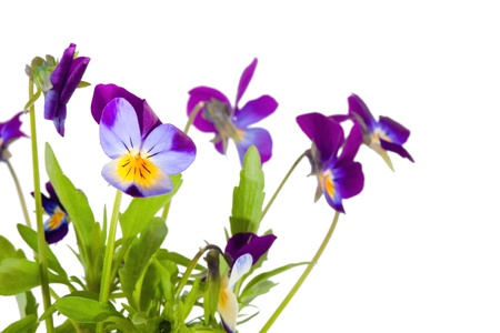 Bunch of the pansy flowers on white background