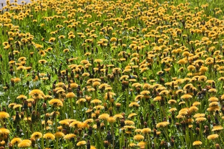 Dandelions on the big meadow Stock Photo - 13818672