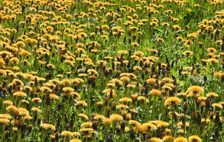 Dandelions on the big meadow Stock Photo - 13818669