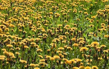 Dandelions on the big meadow Stock Photo - 13818669