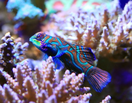 animal mating: Tropical aquarium Mandarin fish, Synchiropus splendidus