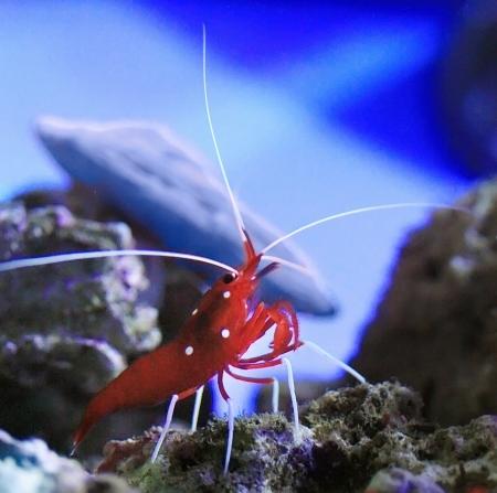 gamba: Red de agua salada del acuario de camar�n Foto de archivo