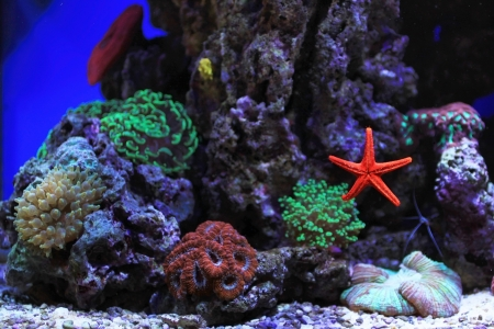 Salt water aquarium with corals and red star  photo