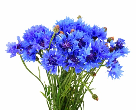 Blue brunch of cornflowers photo