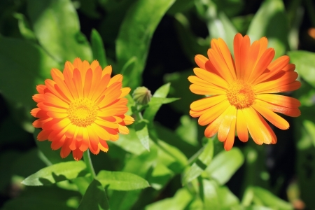 Two calendula flowers