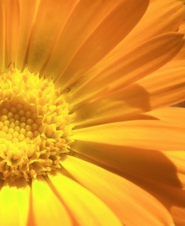 calendula: Beautiful yellow calendula  flower  Stock Photo
