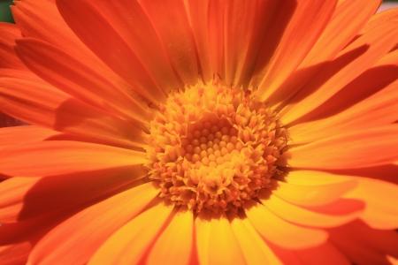 calendula: Calendula orange flower