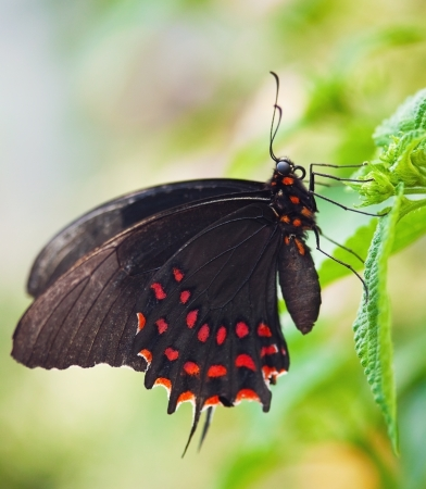 Black butterfly with red dots on green leaf photo