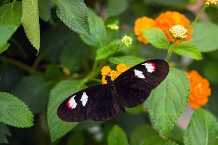 Black butterfly on the orange flower photo