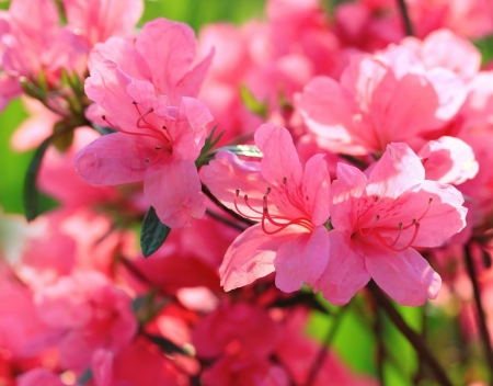 azalea: Beautiful pink rhododendron flowers Stock Photo