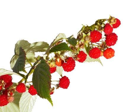 Bunch of raspberry isolated on white
