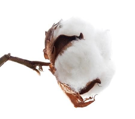 planta de algodon: Cotton boll aislado en blanco Foto de archivo