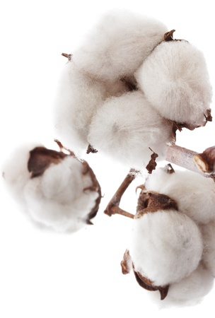 boll: Cotton brunch on white background