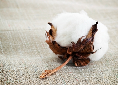 Cotton boll on cotton fabric surface photo