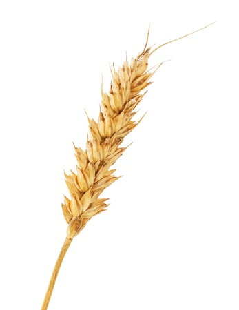 Single wheat ear isolated on white background