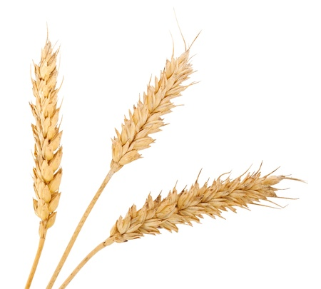 Three wheat ears isolated on white background photo