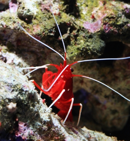 Red marine shrimp in aquarium Stock Photo - 16832366