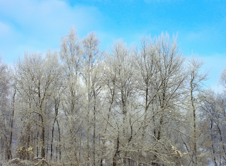 int: Birch int he winter forest Stock Photo