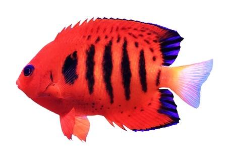 angelfish: Red tropical fish - Centropyge loricula