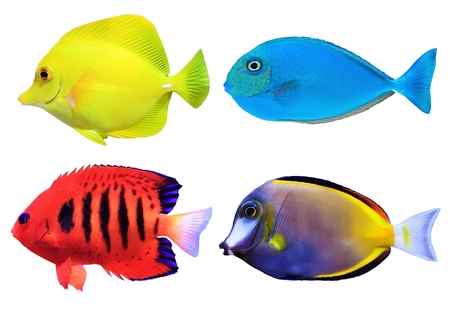 fish tank: Set of tropical sea fish isolated on white background Stock Photo