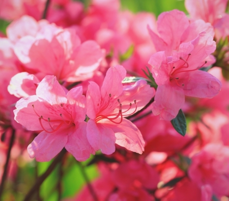 ornamental bush: Beautiful pink rhododendron flowers Stock Photo