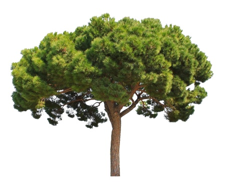 Evergreen pine tree isolated on white