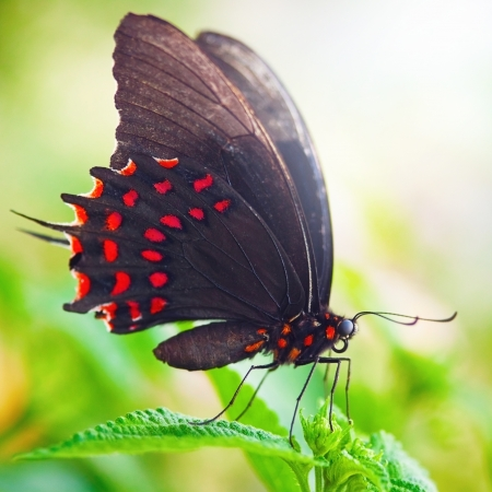 Black and red dot butterfly in sunlight on green leaf photo