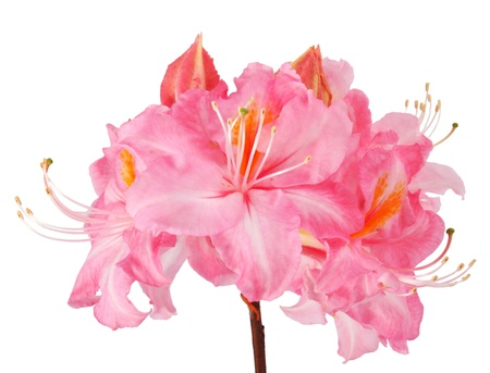 rhododendron: Rhododendron isolated on white background Stock Photo