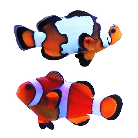 Traditional clown and snowflake fish isolated on white background