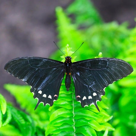 Black butterfly on the garden leaf photo