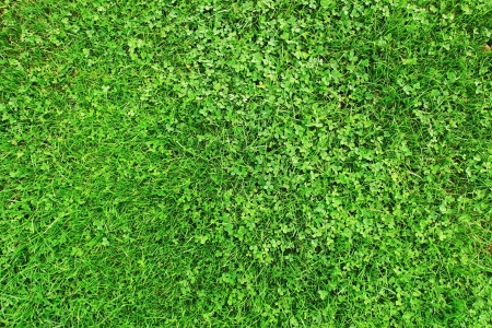 Grass and clover photo