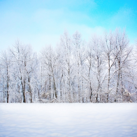 wintery day: Forest background in snow Stock Photo