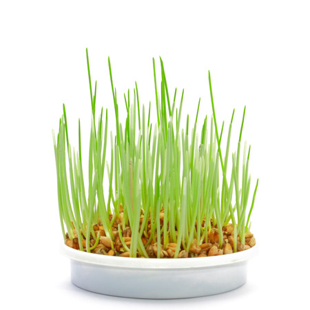 germinate: Grping grass in the pot
