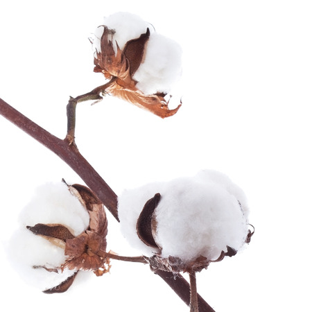 Branch of the cotton over white background photo
