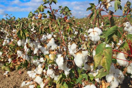 Cotton plant field under blue sky photo