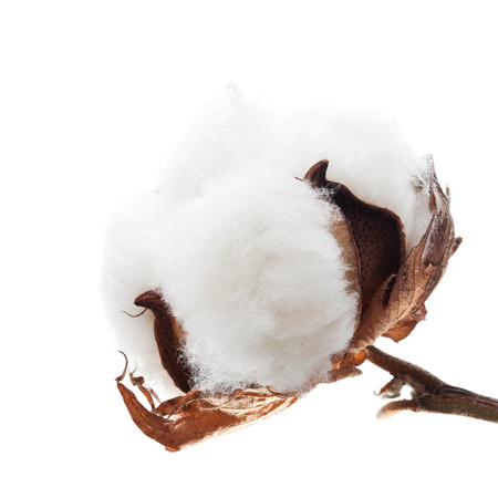 boll: Cotton boll isolated on white Stock Photo