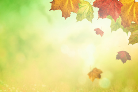 Maple falling leaves in sunlight as autumn nature background Stock Photo