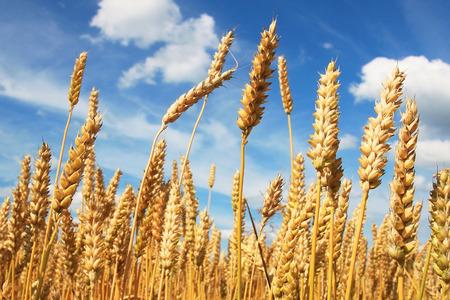 fields: Wheat field in sunlight