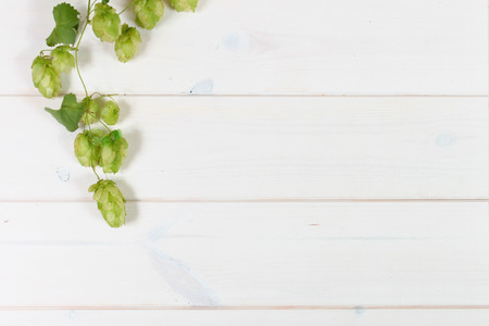 hop plant: Hop plant on wooden white boards Stock Photo