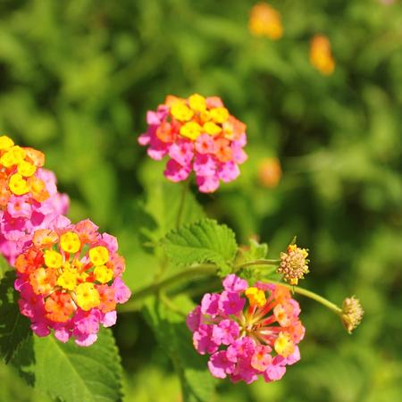 夏季庭院粉红色的花朵