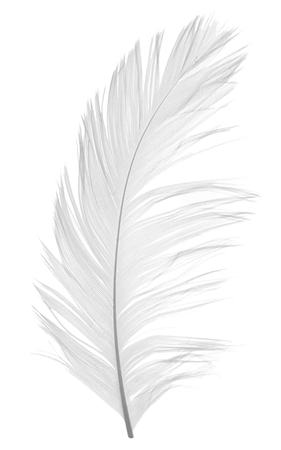 falling feather: Elegant violet feather on white background