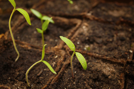 sprout growth: Green sprout growth in soil